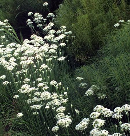 Allium tuberosum 4