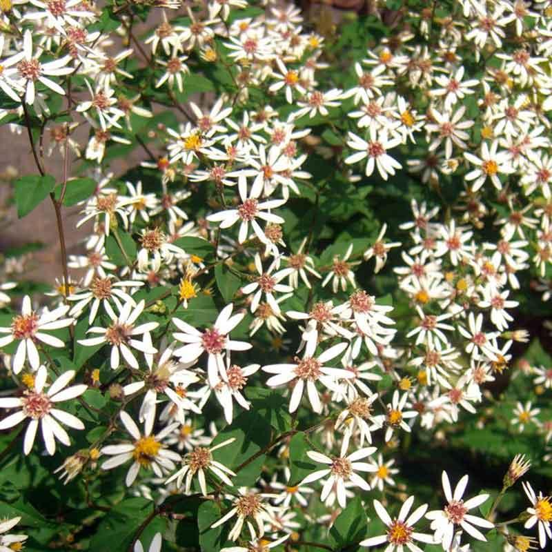 Maryland Native Plants: Harford County Maryland Plant Nursery
