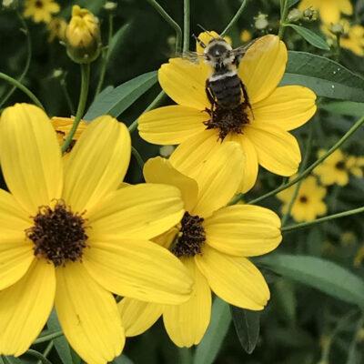 Coreopsis trip bee