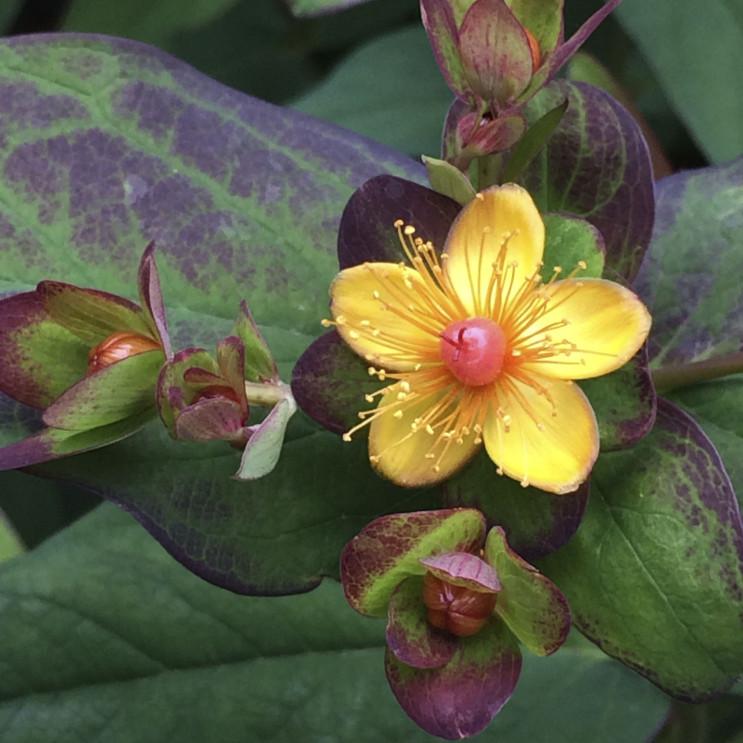 Hypericum Albury Purple