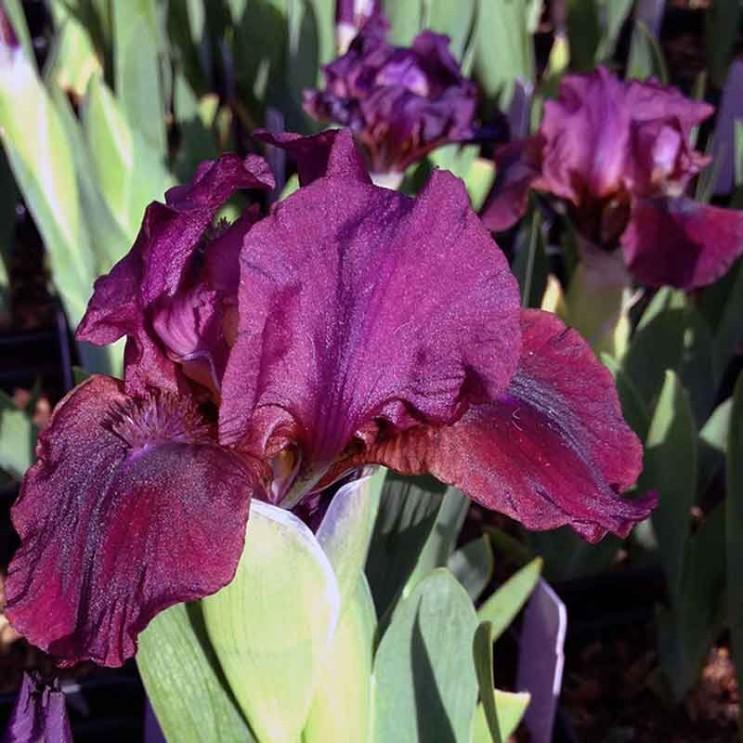 Iris-pumila-wild-ruby