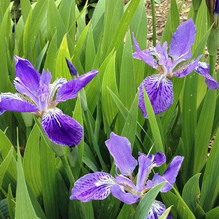 Iris-tectorum