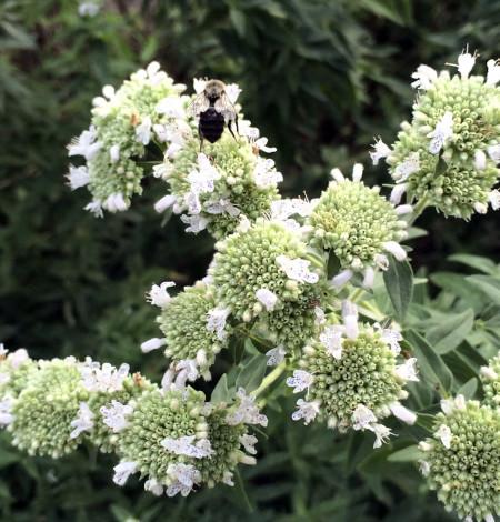 Pycnanthemum virginianum 2