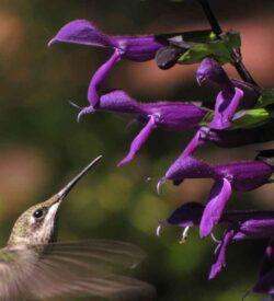 Tender Perennials and Annuals
