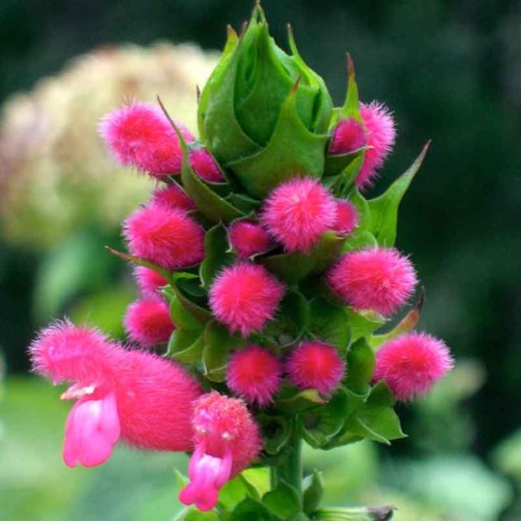 Salvia-oxyphora