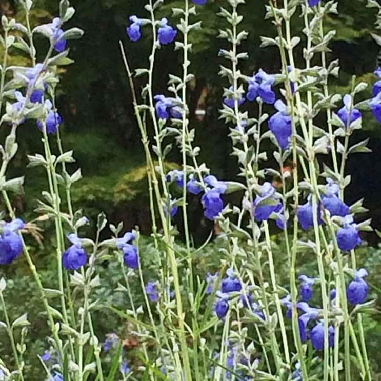 Salvia-reptans-2