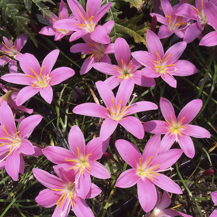 Zephranthes grandiflora