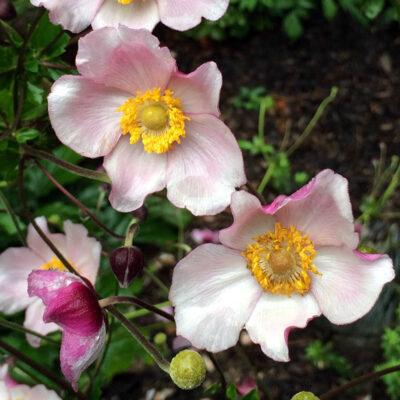 anemone-x-hybrida