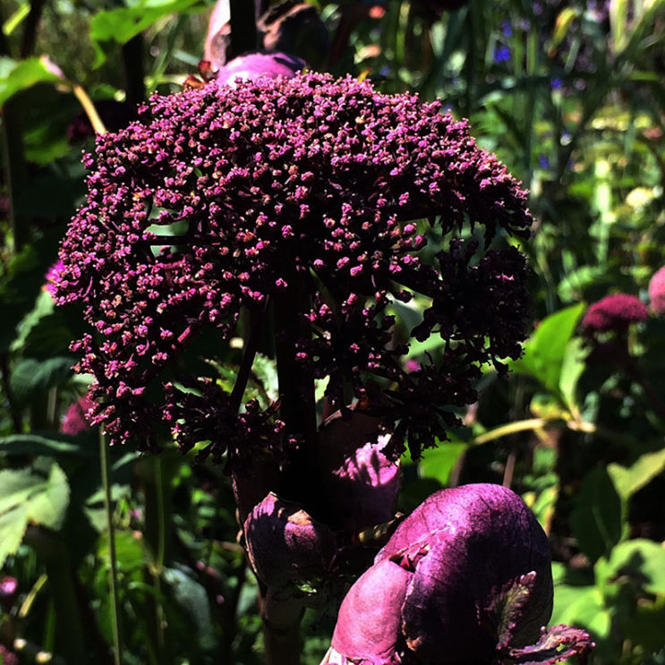 angelica-gigas