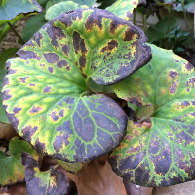 asarum-canadense-fall