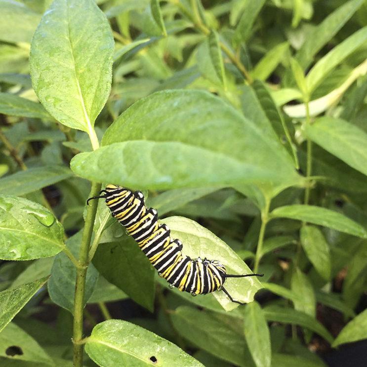 asclepia-incarnata-monarch