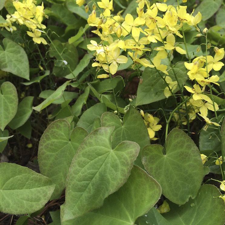 epimedium-colchicum
