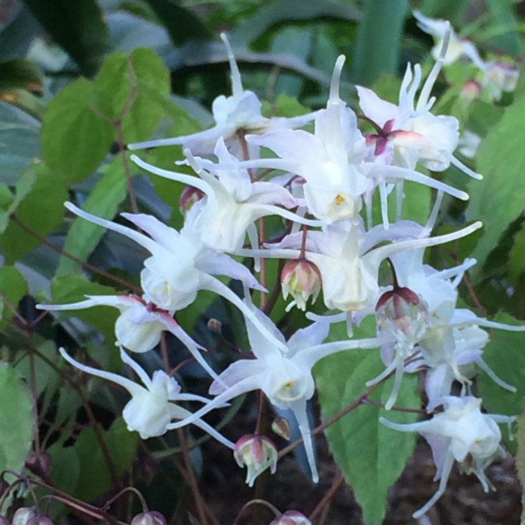 epimedium-youngianum-niveum