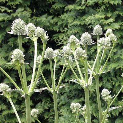 eryngium-yuccifolium