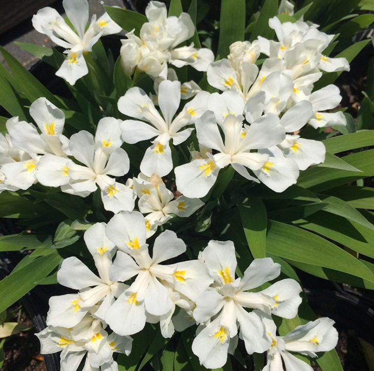 iris-cristata-tennessee-white