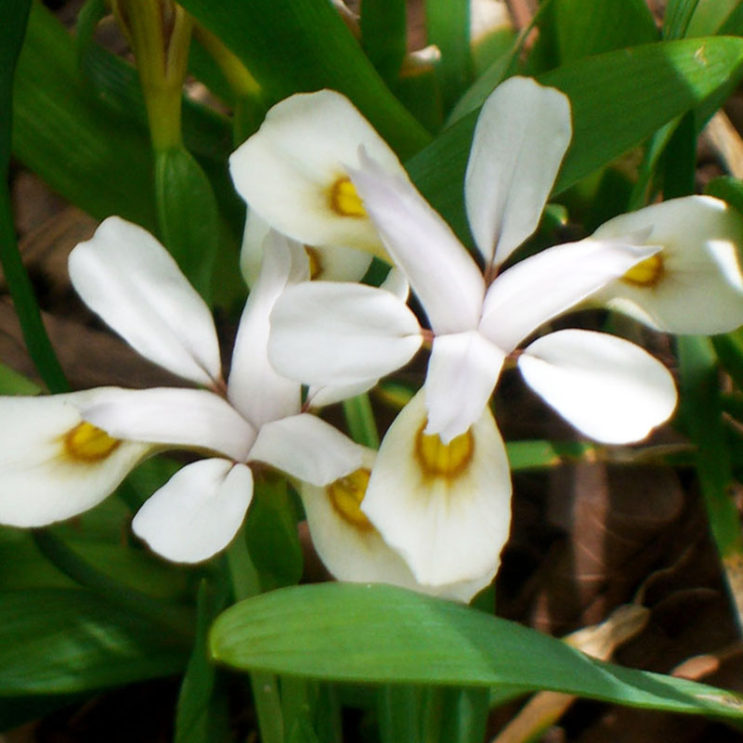 iris-odaesanensis