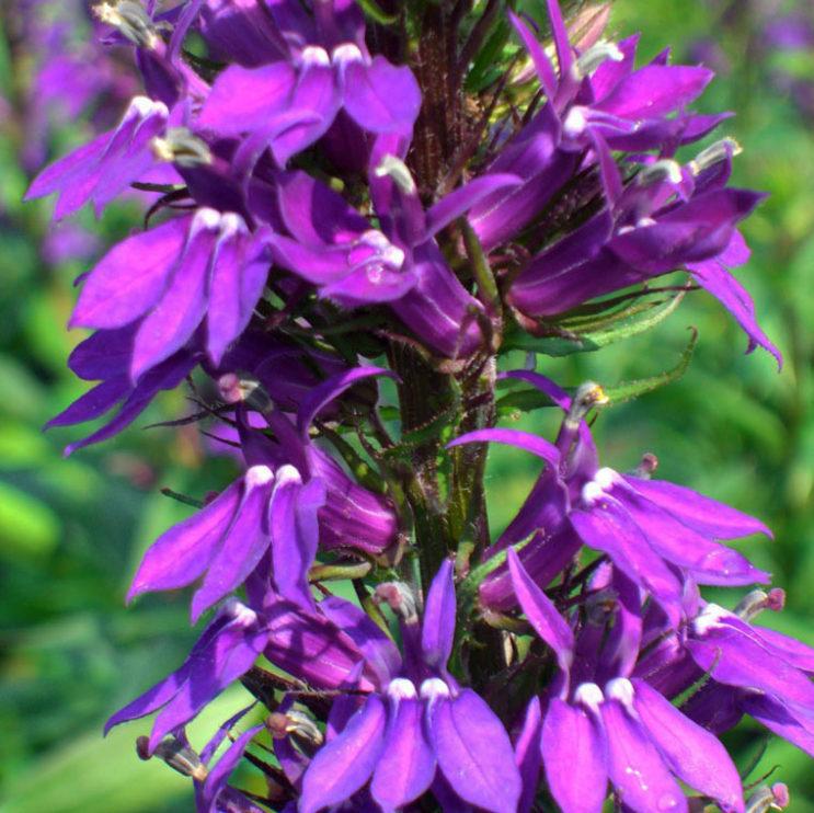 lobelia-gerardii-vedrariensis