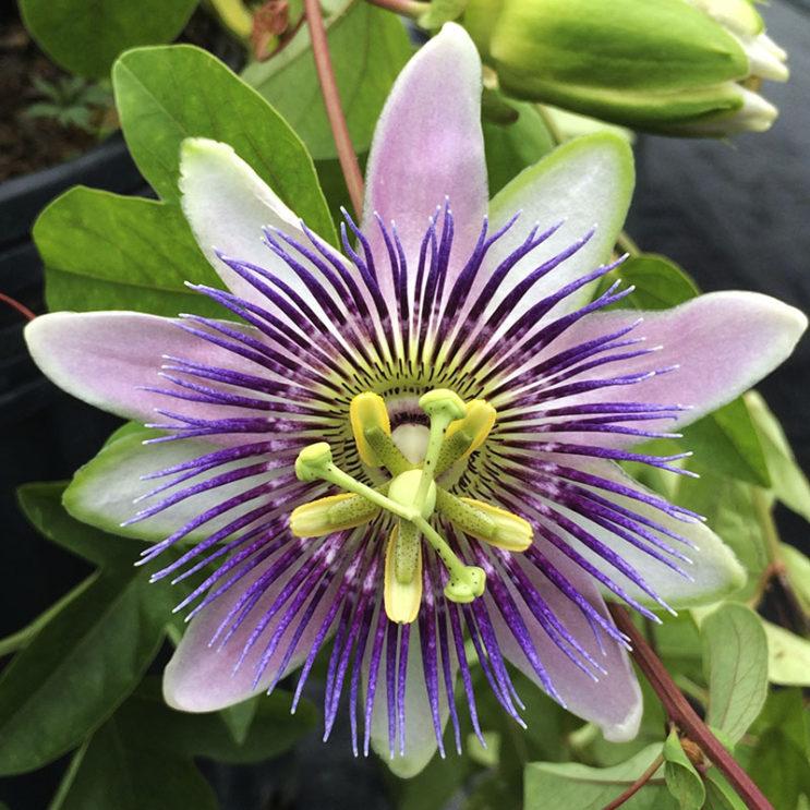 passiflora-alato-caerula-1