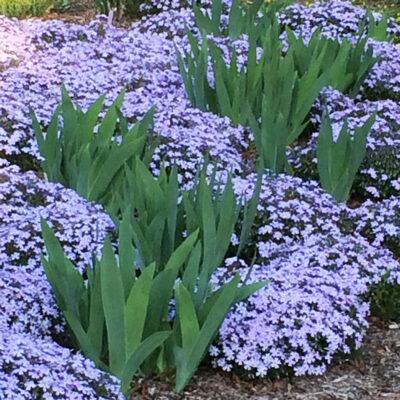 phlox-subulata-emerald-blue-lndscp