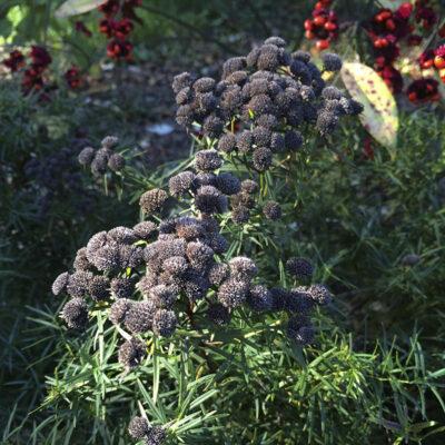 pycnanthemum-tenuifolium-seed