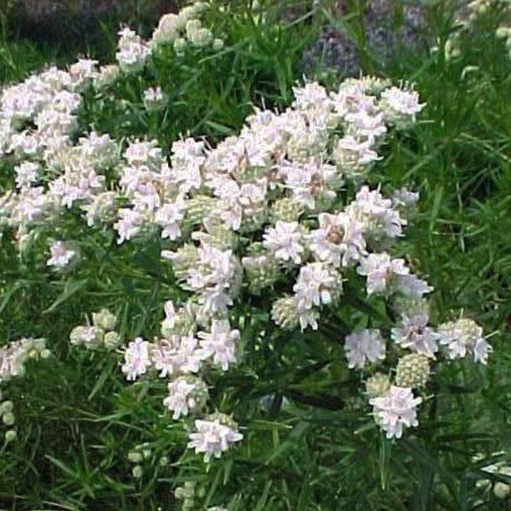 pycnanthemum-tenuifolium-web