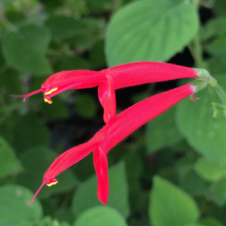 salvia-elegans-honey-melon