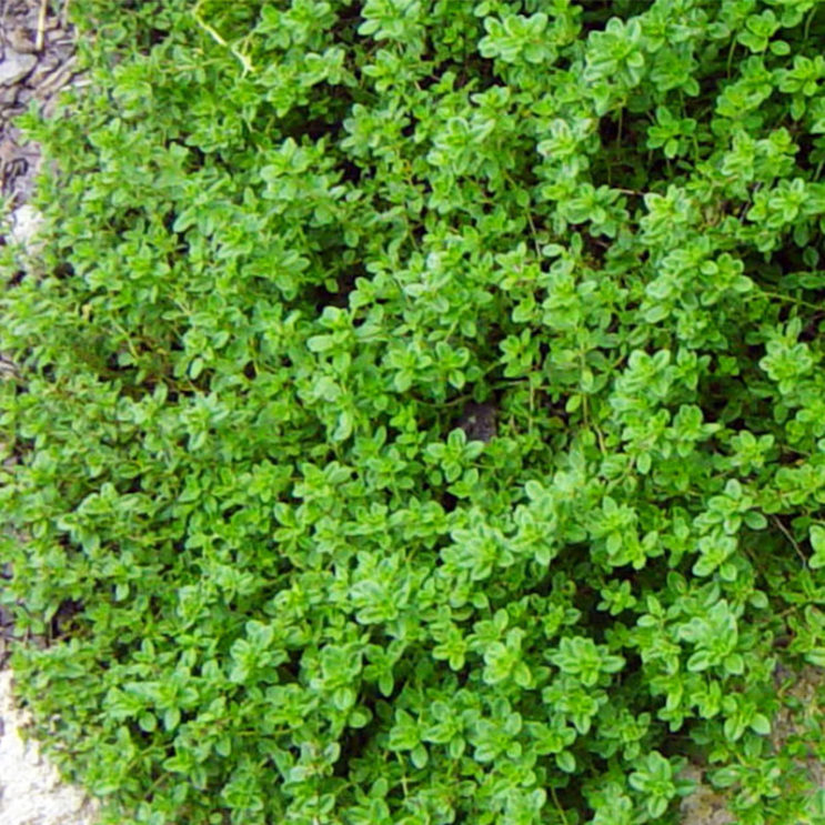thymus-lime
