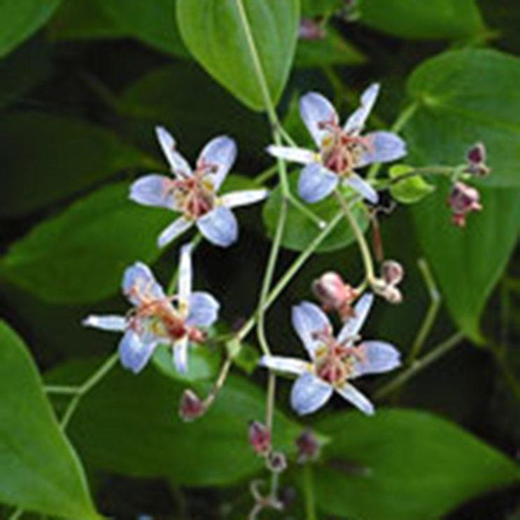tricyrtis-lasiocarpa-rick-and-debi