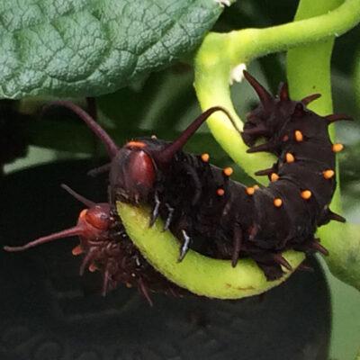 Aristolochia mac catplr