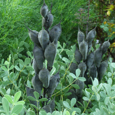 Baptisia minor seed pods