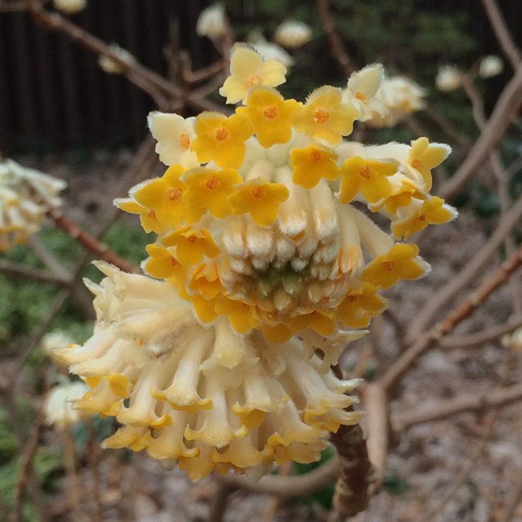 edgworthia-chrys-flower
